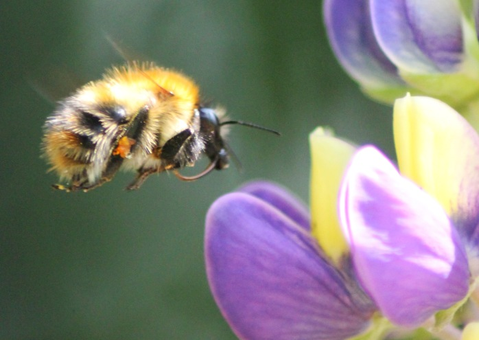 bee in flight cropped
