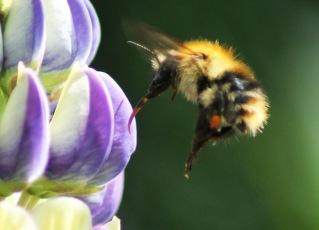 bee with proboscis