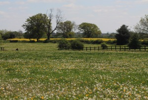 Field with Dandelions, Lincolnshire, UK