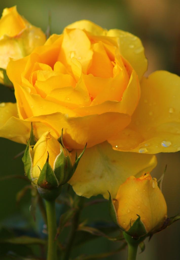 November Rose 093