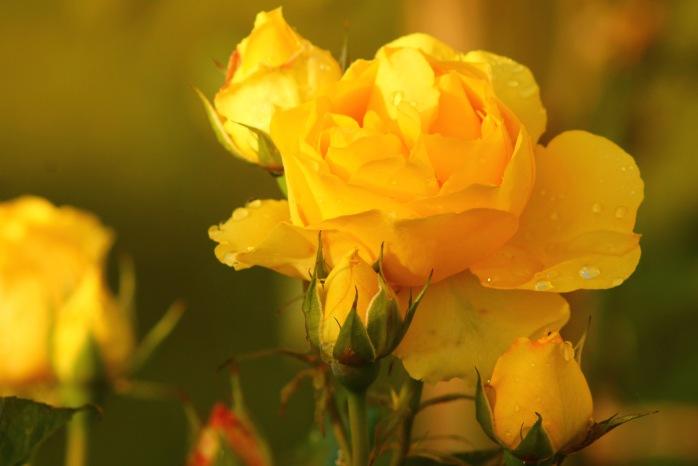 November Rose 103