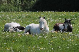 Ponies Original
