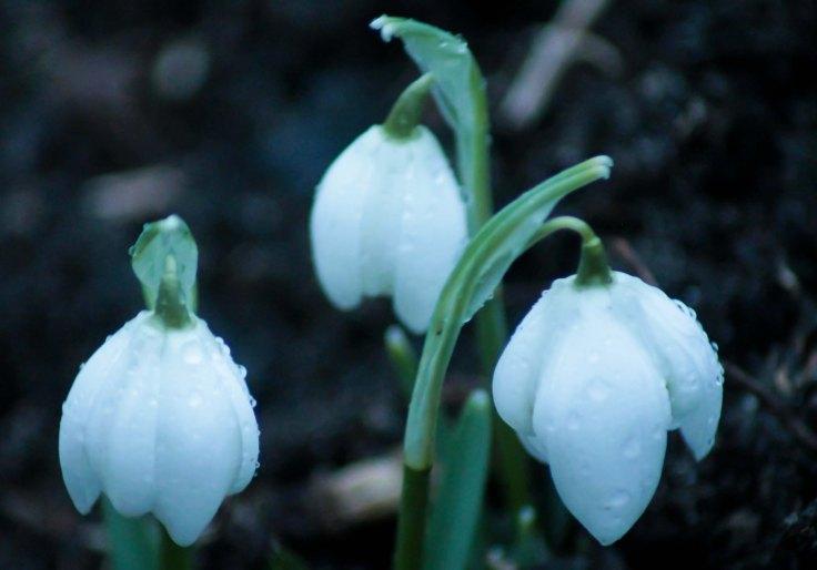 snowdrops2.1