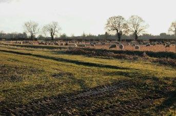 sheep field