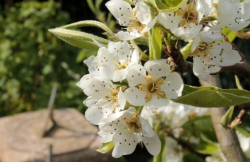 Pear blossom with sundial
