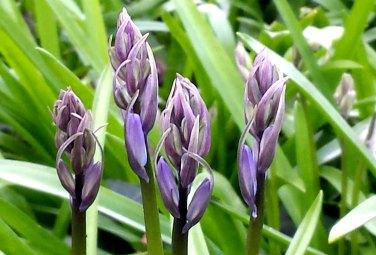 bluebell buds