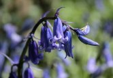 Bluebells on the village's Jubilee Walk