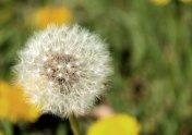 Dandelion in the village wildflower meadow