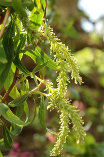 Dragonclaw Willow catkins
