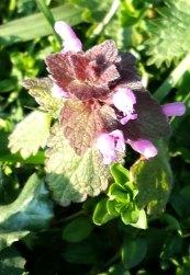 flowering nettle