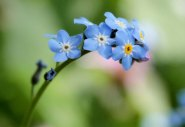 Forget-me-nots in the village wildflower meadow