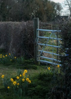 gate with daffodils