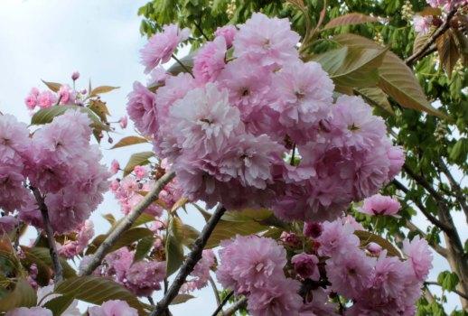 Ornamental Cherry in full bloom