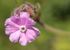 Red Campion in the village wildflower meadow