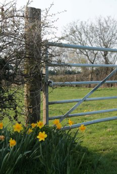 daffodils by gate