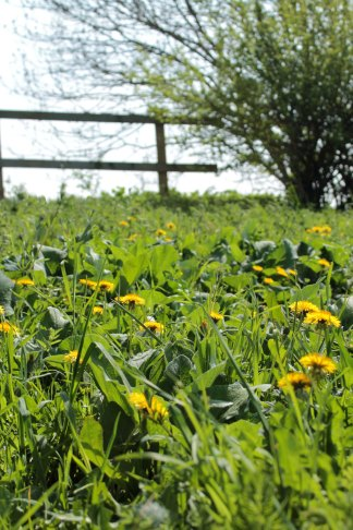 dandelion field with fence