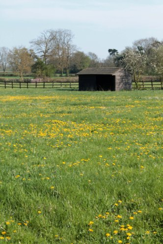 field with dandelions portrait