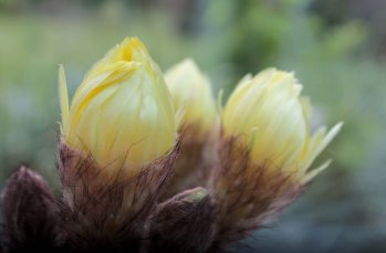 Cactus flowers closing as the light fades