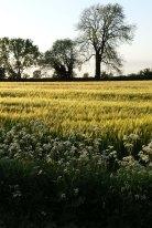 barley field in sunlight