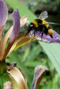 Iris with bee