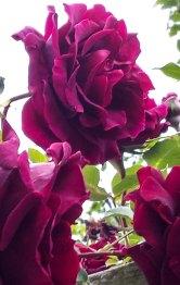 climbing roses3