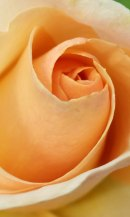 Rose - 'Commonwealth Glory'