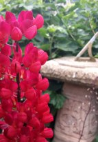 Lupin with sundial