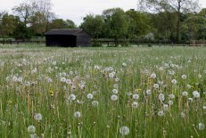 Field with dandelion clocks
