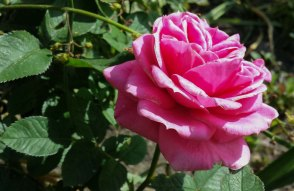 pink rose landscape