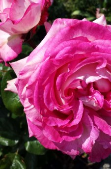 pink roses2