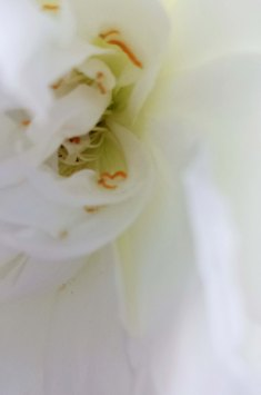 whte rose close-up