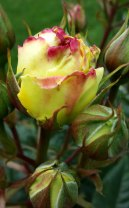 yellow and pink rose bud