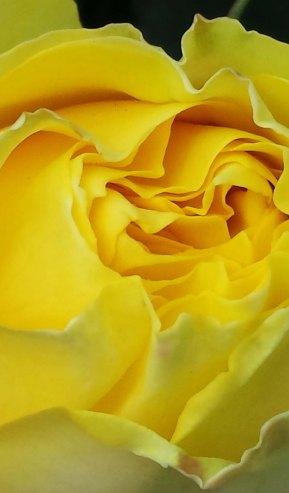 yellow rose close-up2