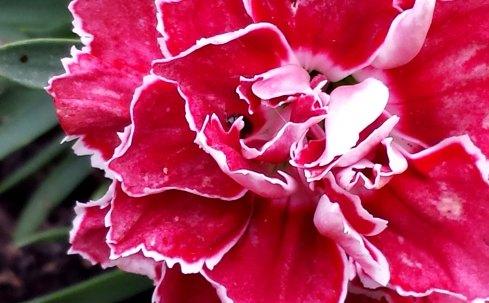 variegated flower
