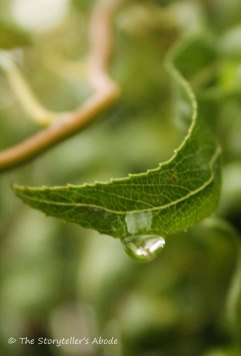 droplet on corkscrew willow2