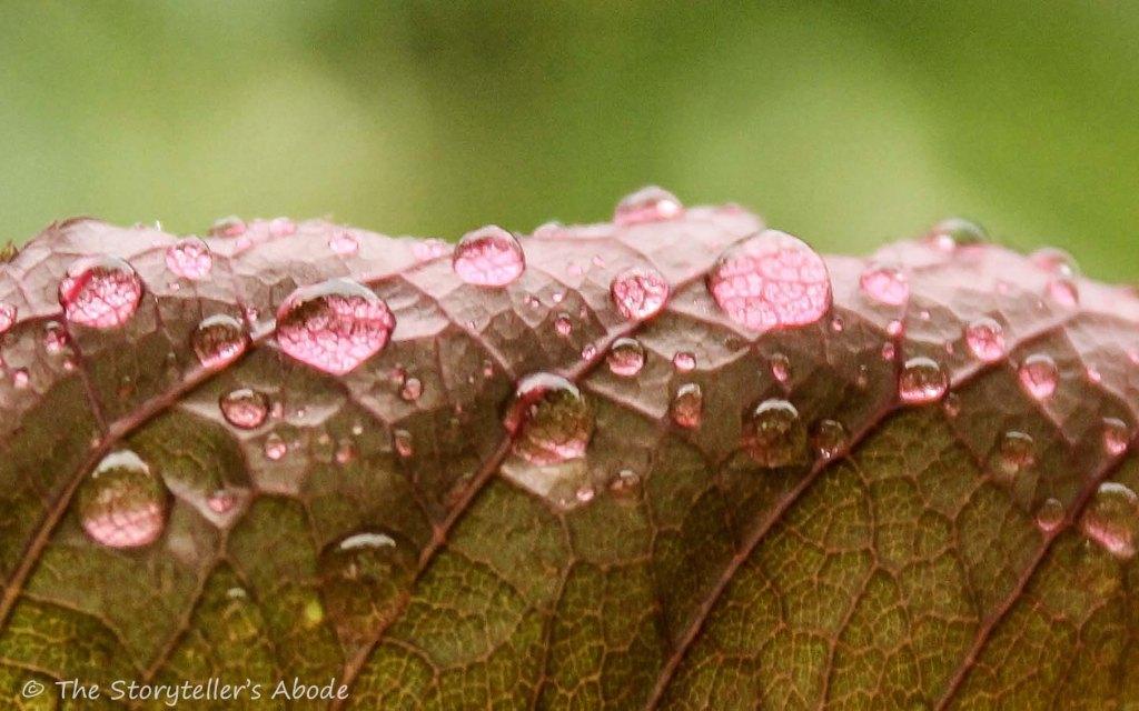 droplets on rose leaf