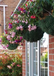 fuschia baskets