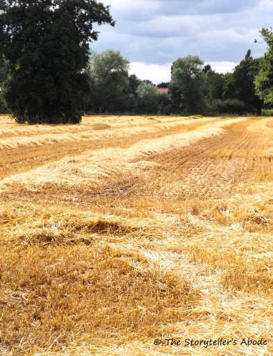 harvested field2