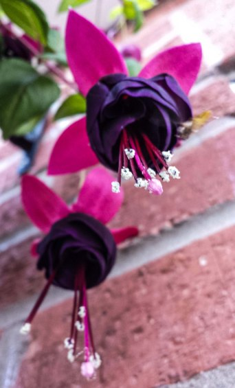 pink and purple fuschias (2)