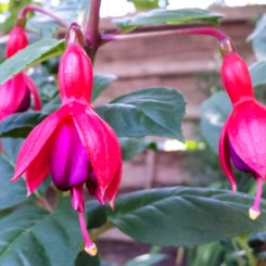 pink and purple fuschias