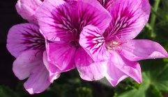 pink geraniums.2jpg