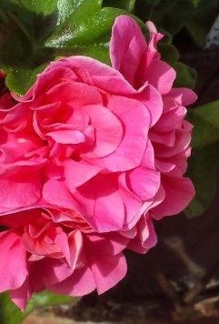 pink geraniums3
