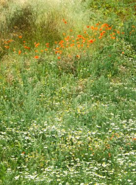 poppy field2