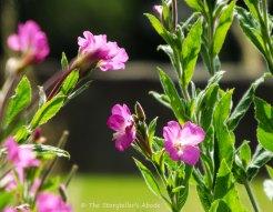 rosebay willowherb