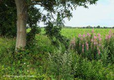 tree with rosebay willowherb2