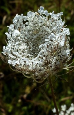 white flower head