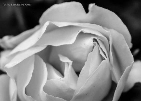 rose 2 bw