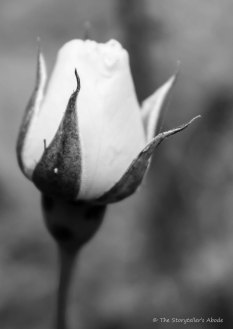 rose 3 bw