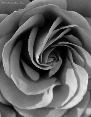 rose 6 bw