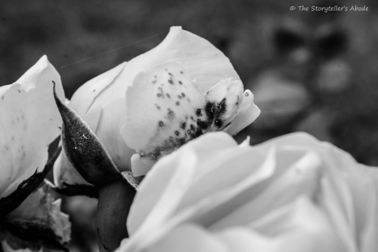 roses bw